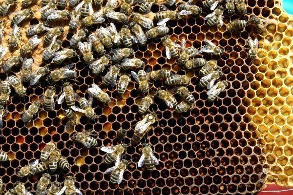 """Пчелы породы """"Украинская степная"""""""