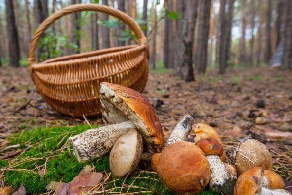 весенние грибы желтые вешенки