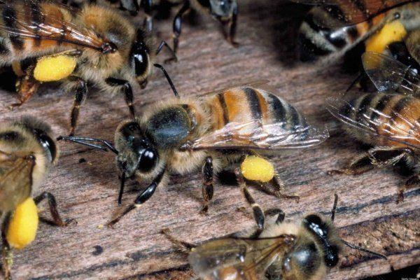 Пчёлы несут мёд