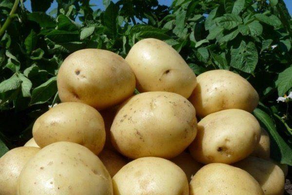 Картофель семена лучшие сорта: посадка и уход