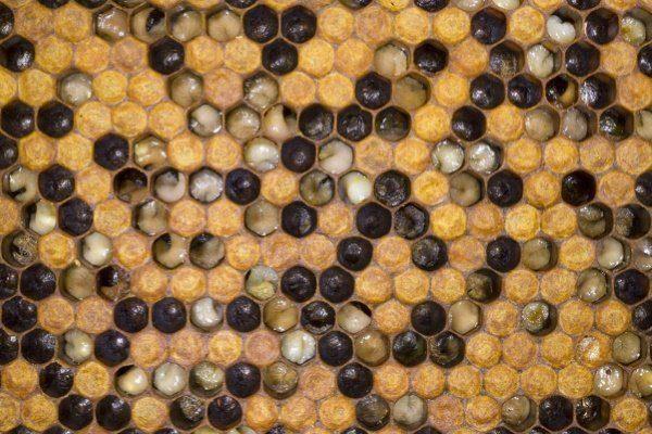 Европейский гнилец пчёл