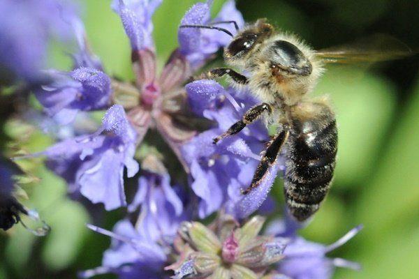 Грузинская пчела