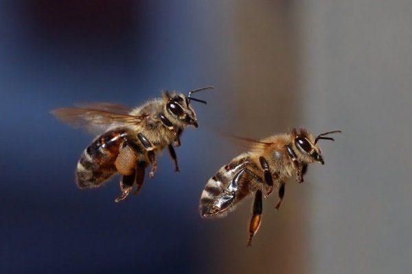 Пчёлы в полёте