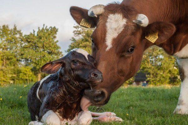 Корова облизывает родившегося телёнка