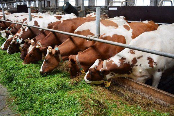 Коровы едят сено и силос