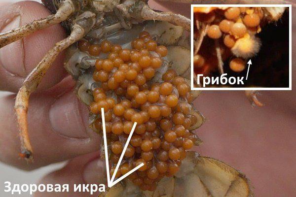Грибковая инфекция раковой икры