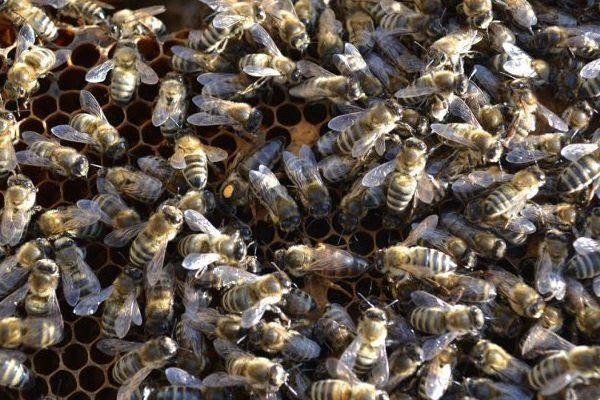 Пчёлы украинской степной породы