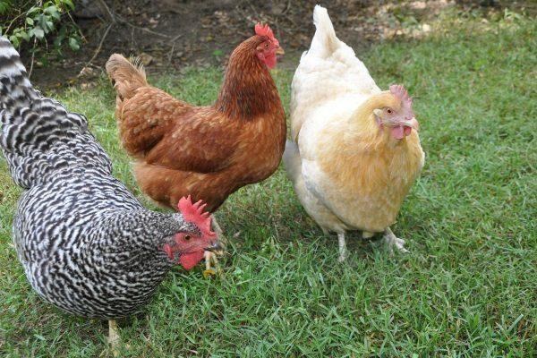 Описание курочек породы родонит и доминант