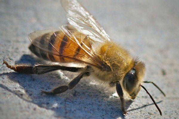 Европейская пчела