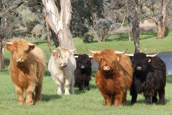Карликовые породы коров