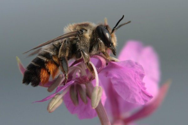 """Пчела """"Листорез"""""""