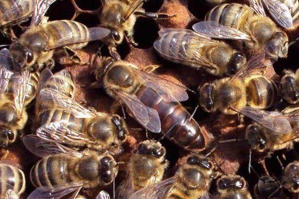 Пчёлы Карника