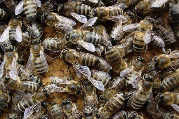 Кавказские пчёлы