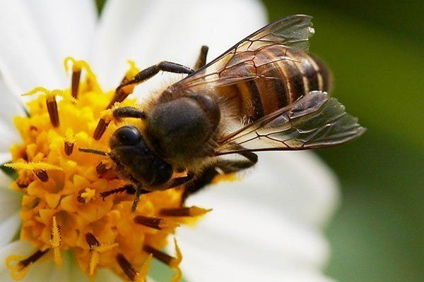 Тигровая пчела