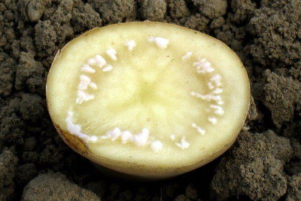 Кольцевая гниль на картофеле