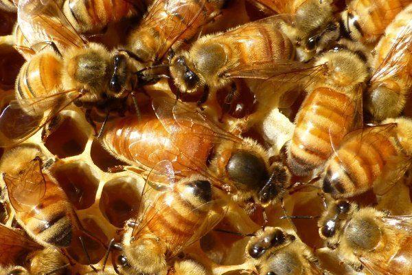 Итальянские пчёлы