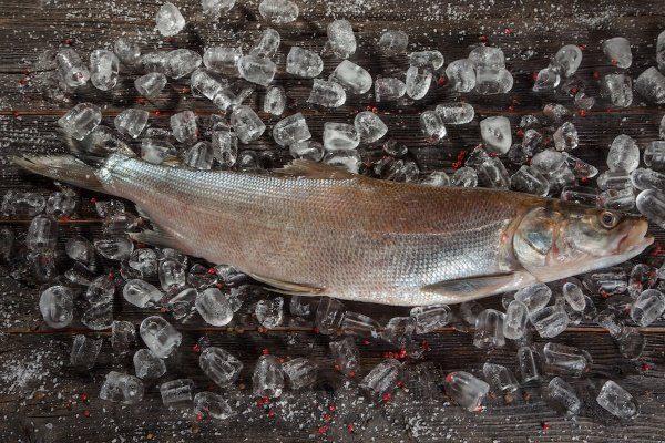 Рыба Нельма на льду