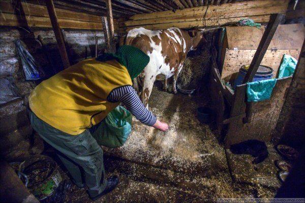 Содержание коров и их кормление