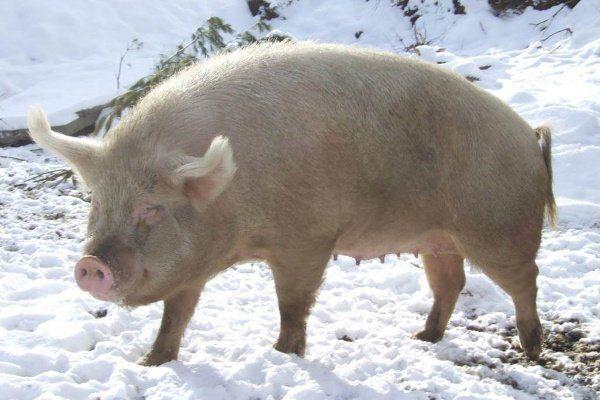 Сибирская северная порода свиньи