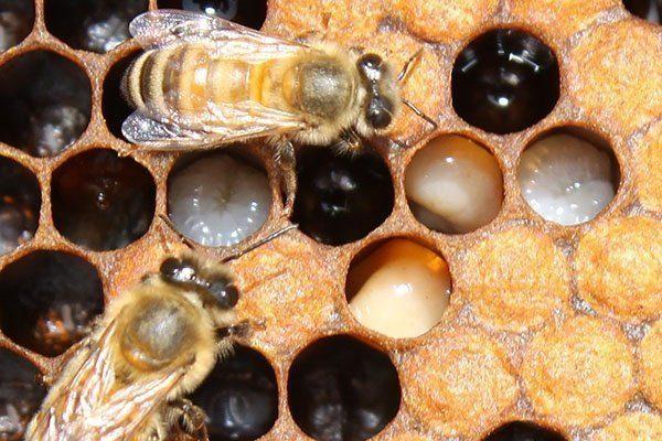 Гнилец у пчёл