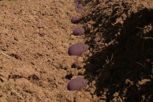 Посадка фиолетового картофеля