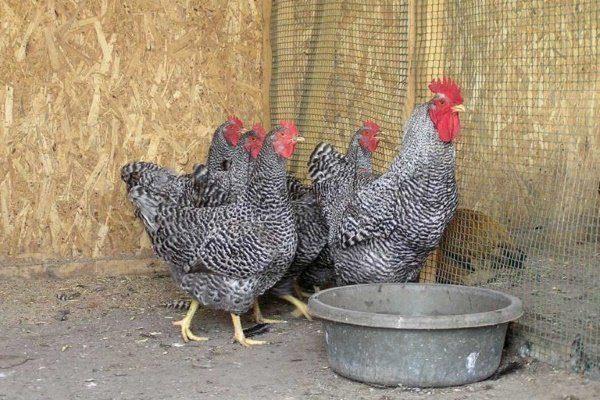 Птица Амрокс в курятнике
