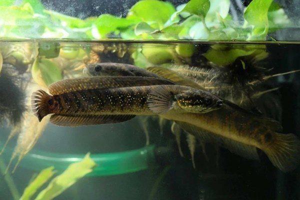 Разведение змееголовов в аквариуме