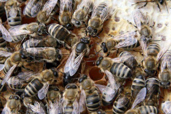 Карпатские пчёлы