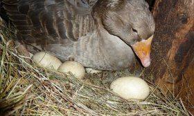 Первая кладка яиц