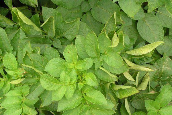 Скручивание листье на картофеле