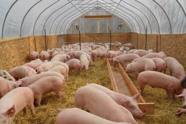 Свиньи в ухоженном помещении