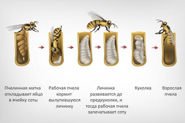 Развитие личинки