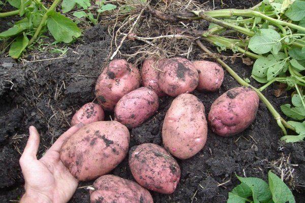 Сорт картофеля Родриго
