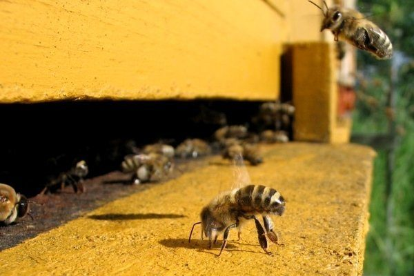 Пчелы-воровки