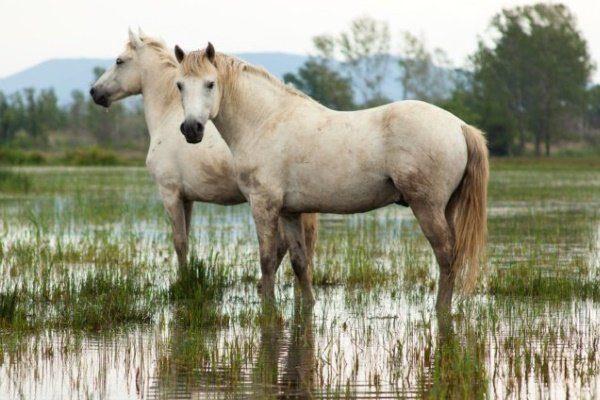 Порода лошади Камаргу