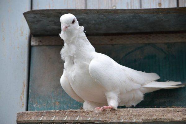 Китайская чайка