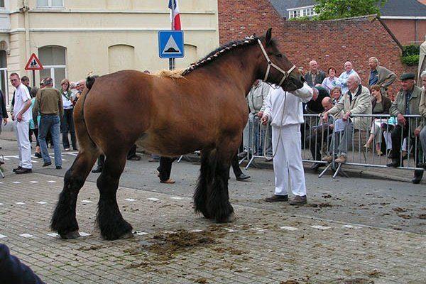 Порода лошади Брабансон