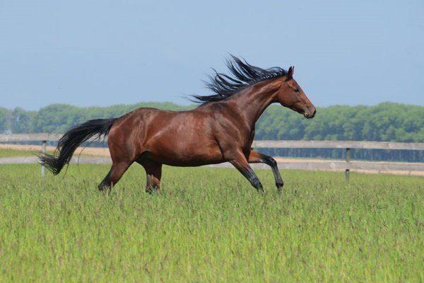 Украинская верховая лошадь