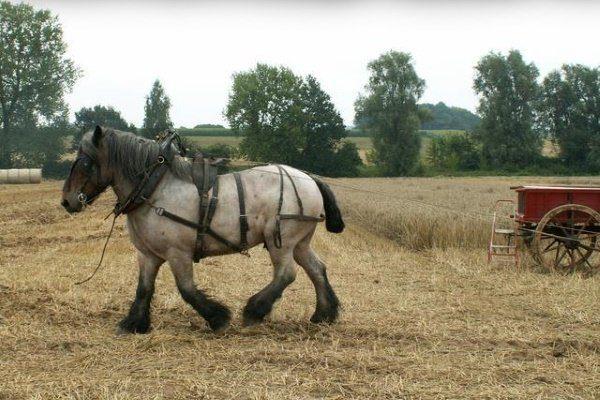 Порода лошади Ардены