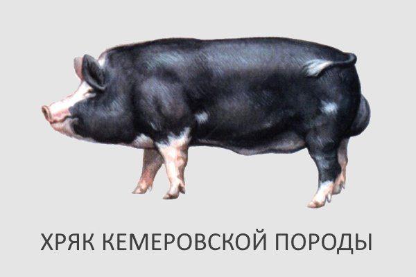Хряк кемеровской породы