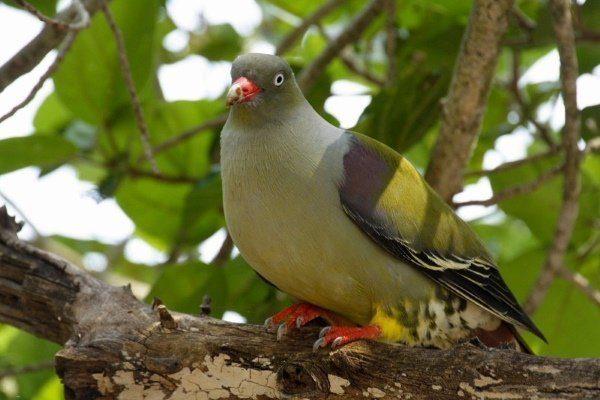 Африканский зеленый голубь