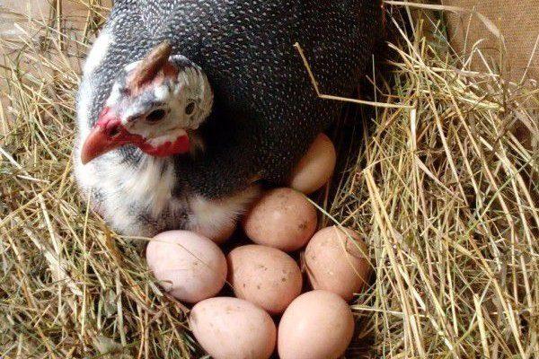 Цесарка снесла яйца