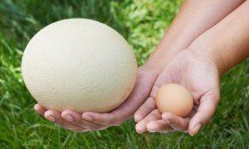 Страусиное и куриное яйцо