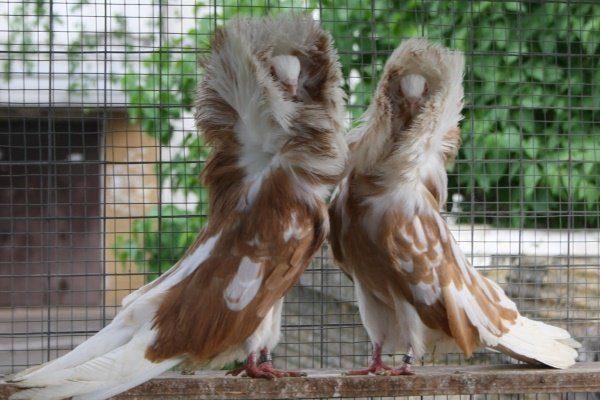 Якобины голуби