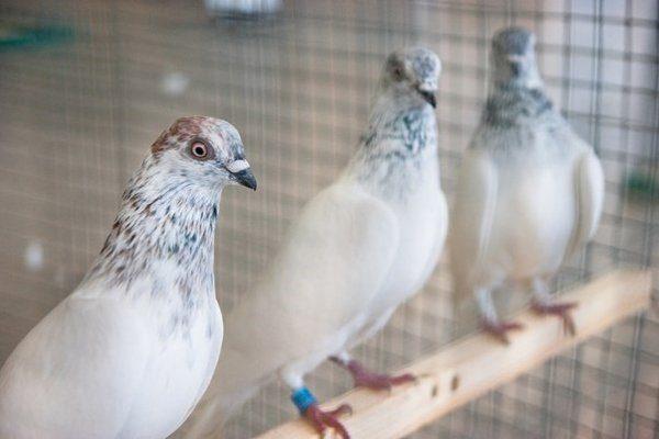 Клайпедские голуби