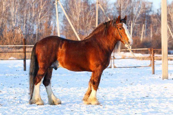 Порода лошади Владимирский тяжеловоз