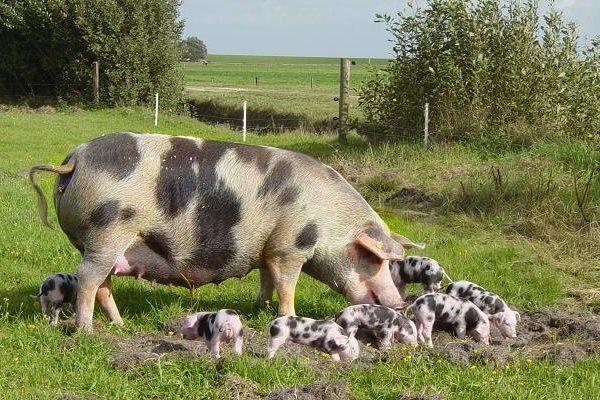 Донская порода свиней