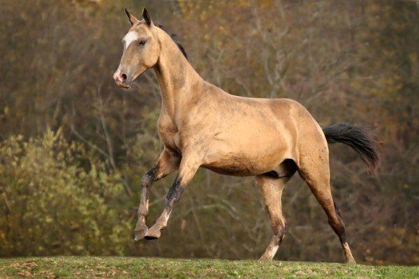 Буланый конь с белыми отметинами