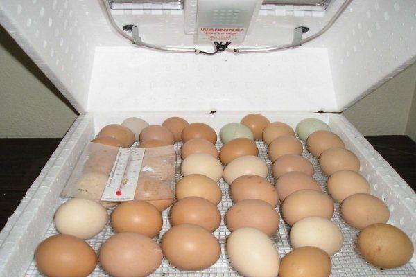 Куриные яйца в инкубаторе