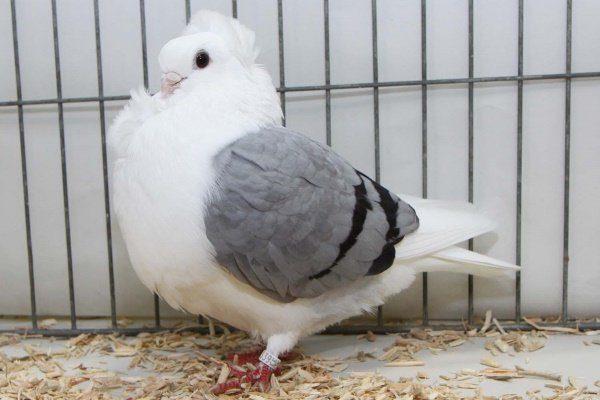 Старая немецкая чайка